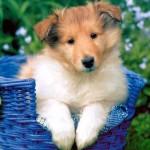 30616 colie 150x150 Fotos de cachorros de raça