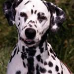 30616 dalmata 1 150x150 Fotos de cachorros de raça