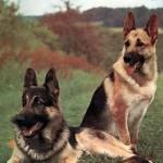 30616 pastor alemao 150x150 Fotos de cachorros de raça