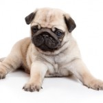 30616 pug filhote 150x150 Fotos de cachorros de raça