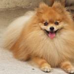 30616 spitz alemao 150x150 Fotos de cachorros de raça