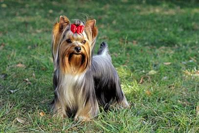 30616 yorkshire terrier 1 Fotos de cachorros de raça