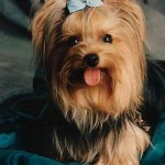 30616 yorkshire terrier 150x150 Fotos de cachorros de raça