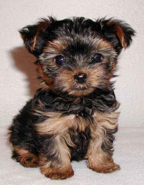 30616 yorkshire terrier filhote Fotos de cachorros de raça