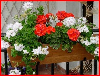 329187 GeranioLINDObut Saiba como usar as plantas para decorar a casa