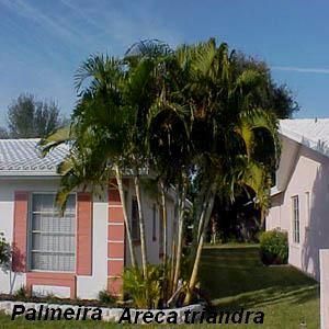 329187 palmeiraareca Saiba como usar as plantas para decorar a casa