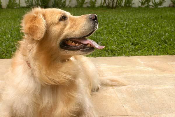 334327 cao dono golden 01g Descubra qual raça de cachorro combina com você