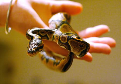 334406 cobra piton Descubra quais cuidados são necessários para animais de estimação exóticos