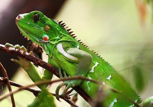 334406 iguana verde Descubra quais cuidados são necessários para animais de estimação exóticos