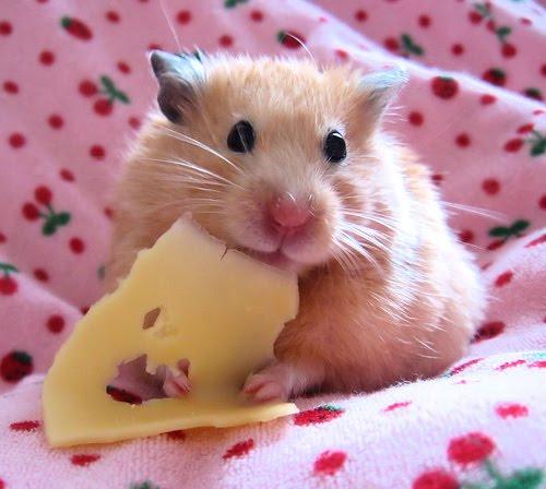 336139 1352031610 bcdb7796b9 large Hamster: saiba quais os principais cuidados que você deve ter com o bichinho