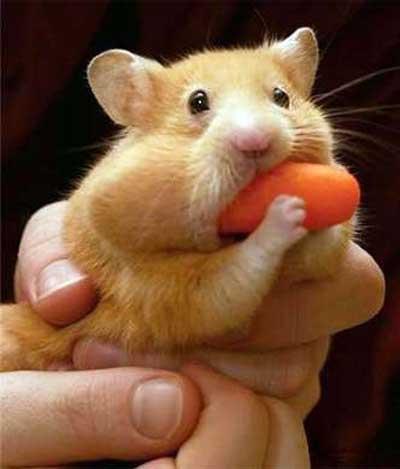 336139 Como Cuidar de Um Hamster Hamster: saiba quais os principais cuidados que você deve ter com o bichinho