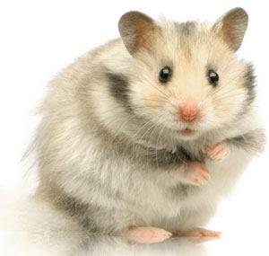 336139 Cuidados com o Hamster Hamster: saiba quais os principais cuidados que você deve ter com o bichinho