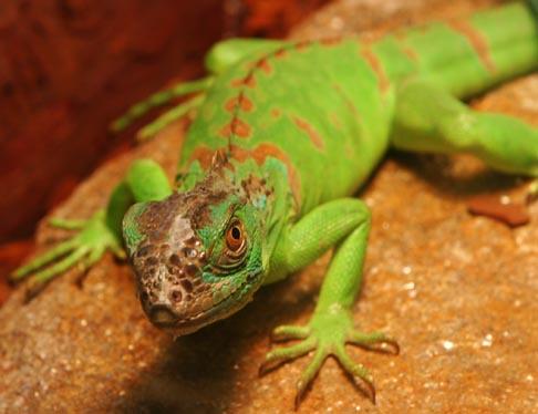 336159 iguana Lagarto: confira tudo que você precisa saber para cuidar do seu animal de estimação