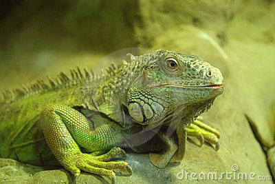 336159 lagarto verde grande thumb4651392 Lagarto: confira tudo que você precisa saber para cuidar do seu animal de estimação
