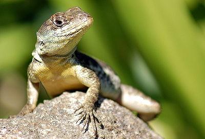 336159 lagarto Lagarto: confira tudo que você precisa saber para cuidar do seu animal de estimação