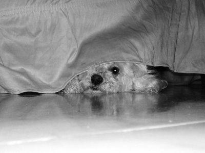 339120 CAO ESCONDIDO SOB A CAMA Como lidar com o medo de trovões e rojões do seu cão