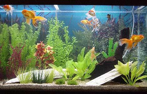 343482 aquario japones Saiba como montar um aquário em sua casa