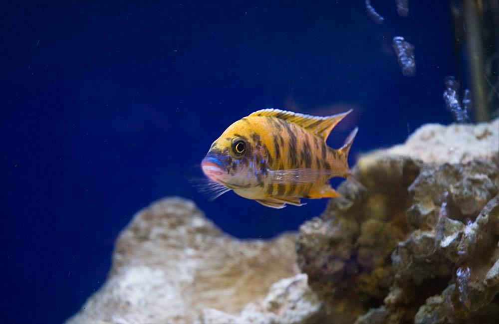 343482 peixe listado full Saiba como montar um aquário em sua casa