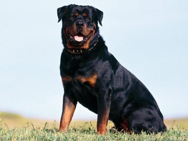 343576 caes de guarda cachorros 600x450 Saiba quais são as melhores raças de cães de guarda