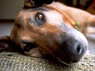 345006 Como socorrer cachorro com convulsões 1 Como socorrer cachorro com convulsões