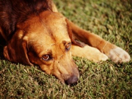 345006 Como socorrer cachorro com convulsões 2 Como socorrer cachorro com convulsões