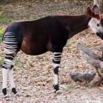 347917 Ocapi na realidade estes animais nativos das florestas h+¦midas do Congo pertencem +á fam+¡lia das girafas por+®m n+úo s+úo t+úo grandes quanto.Parece at 150x150 Os animais mais esquisitos do mundo