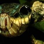 347917 hemeroplanes cartepillar +® uma lagarta pouco conhecida e que vive nas florestas +¦midas do M+®xico e Am+®rica Central. Normalmente ela n+úo tem essa apa 150x150 Os animais mais esquisitos do mundo