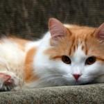 349572 Gato+Amarelo+e+Branco+no+Sofa 150x150 Os gatinhos mais fofos do mundo