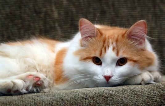349572 Gato+Amarelo+e+Branco+no+Sofa Os gatinhos mais fofos do mundo