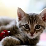 349572 fotos de gato 47 150x150 Os gatinhos mais fofos do mundo