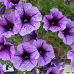 349762 79 @Petúnia 150x150 Flores mais belas da natureza