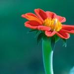 349762 8790gerbera 150x150 Flores mais belas da natureza