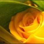 349762 Rosaamarelawiki 150x150 Flores mais belas da natureza
