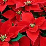 349762 bico de papagaio 1138400405 150x150 Flores mais belas da natureza