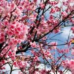 349762 cerejeira 150x150 Flores mais belas da natureza