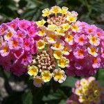 349762 lantana camara colours bouquet flowers 150x150 Flores mais belas da natureza