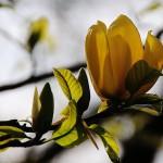 349762 magnólia amarela 150x150 Flores mais belas da natureza