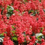 349762 salvia2 150x150 Flores mais belas da natureza
