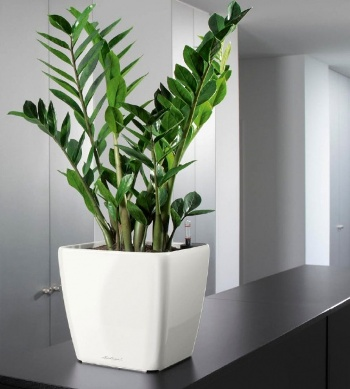 349859 Plantas para banheiro Zamiokulkas Plantas para banheiro