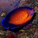 350019 Coral Beauty 150x150 Os peixes mais exóticos do mundo