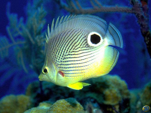 350019 Peixe mais exotico1 Os peixes mais exóticos do mundo