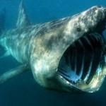 350019 Tubarão elefante 150x150 Os peixes mais exóticos do mundo