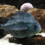 350019 lumpfish 150x150 Os peixes mais exóticos do mundo