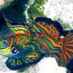 350019 peixe mandarin 150x150 Os peixes mais exóticos do mundo