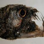 350019 peixe víbora 150x150 Os peixes mais exóticos do mundo