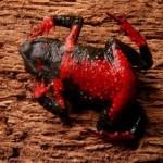 350634 Melanophryniscus macrogranulosus sapinho barrigudo de barriga vermelha 150x150 Animais em extinção no mundo