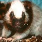 350634 crateromys paulus Filipinas conhecido apenas por um exemplar 150x150 Animais em extinção no mundo