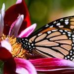 351429 2340flor borboleta 150x150 As borboletas mais lindas do mundo