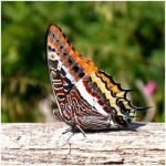 351429 borboleta 14 150x150 As borboletas mais lindas do mundo