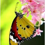 351429 borboleta 3 150x150 As borboletas mais lindas do mundo